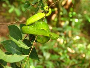 Dahong palay - serpente
